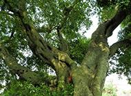 世界上最大的榕树图片欣赏