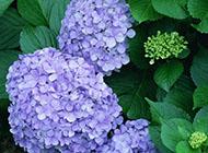 紫色的美丽花朵高清图片