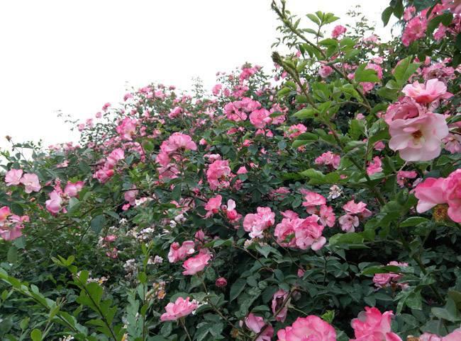 花繁叶茂的蔷薇花图片