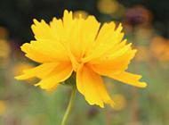 黄色野菊花图片摄影作品