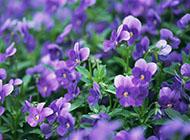 紫色唯美的花丛精美图片赏析