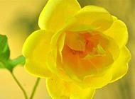 黄玫瑰花图片精选黄色植物背景