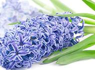 风信子花卉唯美图片