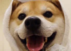 开心可爱的柴犬图片欣赏