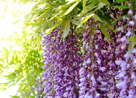 一串串像葡萄的紫藤萝图片