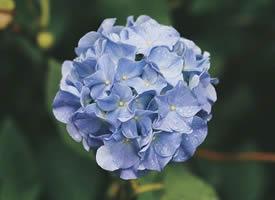 色彩斑斓的绣球花图片欣赏