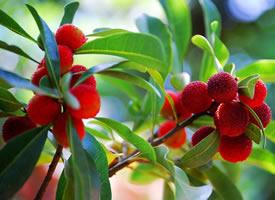 树枝上又红又好吃的杨梅图片