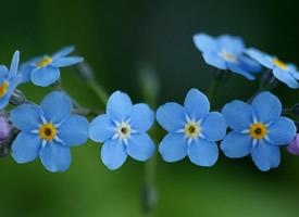 勿忘我花语:永恒的爱,浓情厚谊,永不变的心,永远的回忆。
