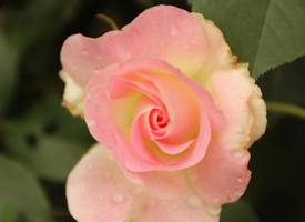 一组粉粉的蔷薇花唯美高清图片