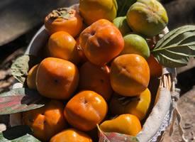 沉甸甸的柿子挂满枝头和刚刚摘下来的柿子