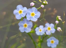 蓝色小花勿忘我唯美意境拍摄图片