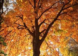 漂亮的枫树和枫叶图片_15张
