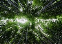 高耸的竹子图片_11张