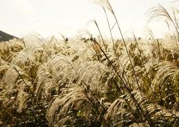 漂亮的芦苇丛图片_11张