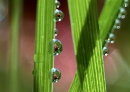 植物上的露珠图片_12张