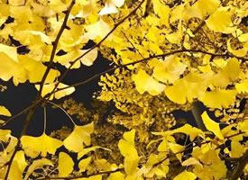 一组成都街头美丽的银杏图片欣赏