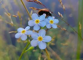 一组蓝色唯美的小花朵图片-勿忘我