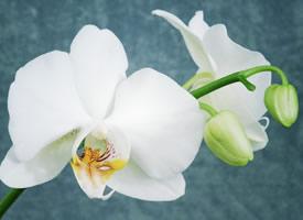 像一只只白色的蝴蝶一样的蝴蝶兰图片欣赏