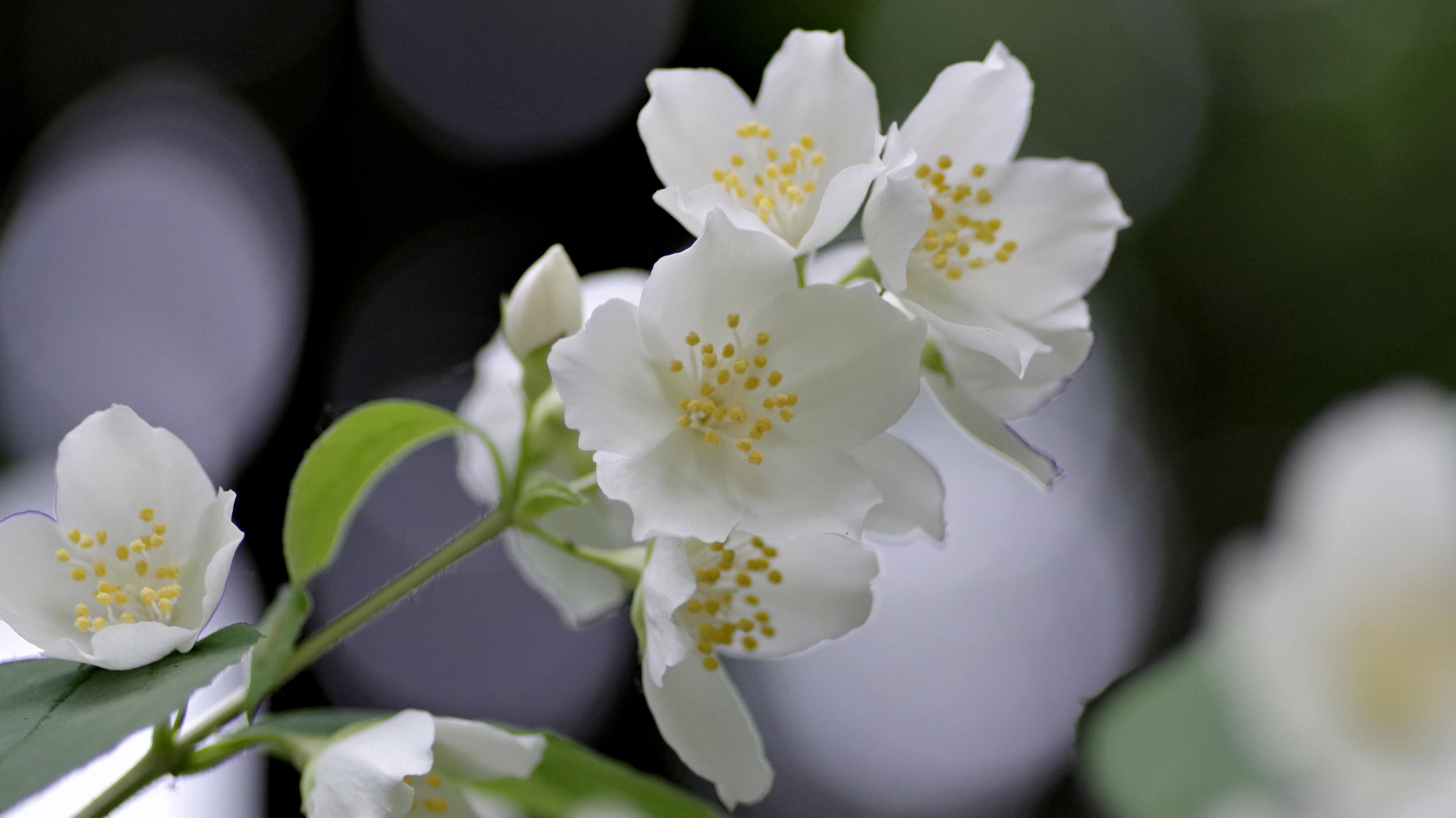 带着淡淡的清香的茉莉花图片欣赏
