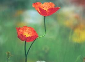 爱似罂粟花、唯美却有毒 盛开在彼岸的黑罂粟