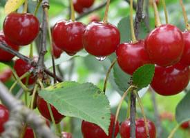 大又红的樱桃好似珍珠玛瑙般晶莹剔透,味道很甜