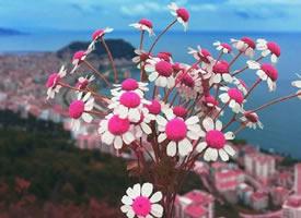一束超唯美的小雏菊图片欣赏