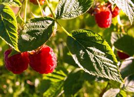 还挂在树上的新鲜树莓图片欣赏