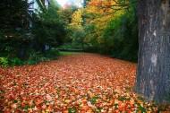 加拿大枫叶风景图片_8张