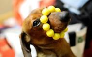 可爱的腊肠犬图片_14张