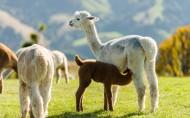 可爱羊驼图片_18张