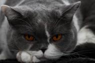 美国短毛猫图片_11张