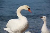 美丽的白天鹅图片_14张