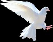 白鸽图片_11张