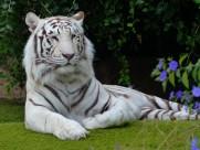 白色孟加拉虎图片_14张