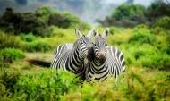 两匹斑马高清图片_15张