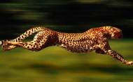 豹子图片_8张