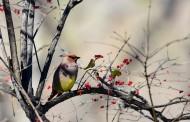 树上的太平鸟图片_11张