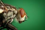 让人讨厌的苍蝇图片_14张
