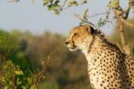 丛林中的豹子图片_15张