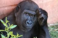 呆萌的大猩猩图片_11张