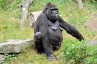 大猩猩图片_7张