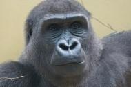 搞怪有趣的大猩猩图片_17张