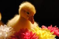 小鸭子图片_16张
