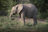 野生大象图片_14张