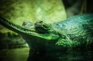 冷血的鳄鱼图片_12张