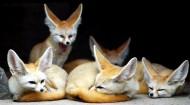 狐狸图片_14张