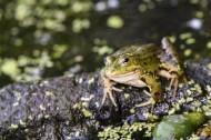 池塘里的青蛙图片_10张