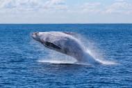 浮出水面的鲸鱼图片_13张