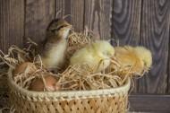 刚孵出的小鸡图片_10张