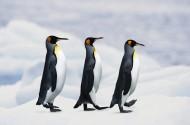 高清企鹅接吻搞笑图片_12张